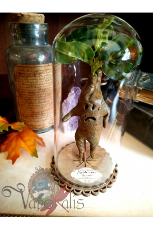 Racine de mandragore sous cloche en verre